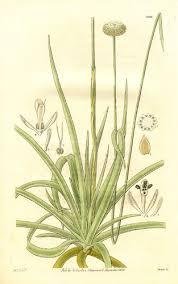 Eriocaulaceae - Wikipedia
