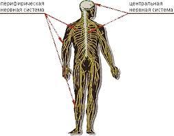 Нервная система человека класс  По