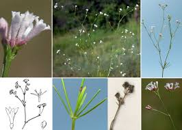 Asperula cynanchica L. subsp. cynanchica - Sistema informativo ...