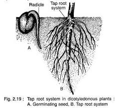 essay on the root top essays root angiosperms botany tap root system in dicotyledonous plants