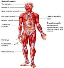 Each side is painstakingly labeled, and the bottom half of the chart features enhanced. Muscular System Accessscience From Mcgraw Hill Education