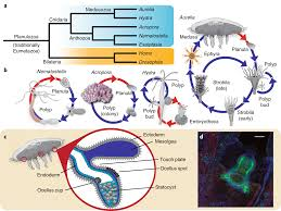 The Genome Of The Jellyfish Aurelia And The Evolution Of