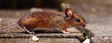 Rodents Lower Classifications Removal And Prevention Of Rodents Orkin