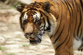 tiger face growling. Fine Face Bengal Tiger Growling Closup Of Face Stock Photo  9703997 Inside Face Growling W