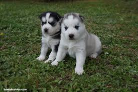 newborn baby pugs for sale. Contemporary Sale Husky Puppies And Newborn Baby Pugs For Sale Y