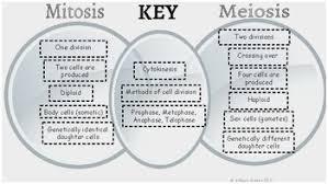 Comparing Mitosis And Meiosis Venn Diagram Mitosis Vs Meiosis Venn Diagram Fresh Mitosis And Meiosis Diagram