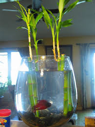 beta or betta fish also known as siamese fighting fish come from a tropical area in thailand they are very colorful antisocial fish that breathe air