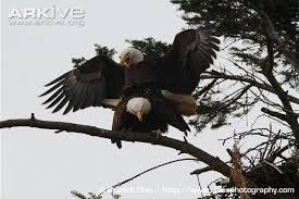 Image result for Bald Eagles/ Haliaeetus leucocephalus