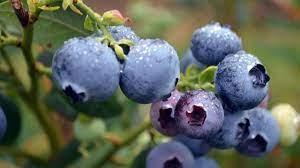 Tác dụng của việt quất, nên ăn bao nhiêu quả mỗi ngày?