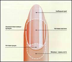 Строение и функции кожи Строение ногтя