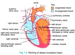 essay on human heart location structure and other details  working of blood circulation heart