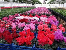 Imagini pentru flori de sera