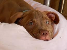 brown red nose pitbull puppies. Brilliant Pitbull Red Nose Pitbull Puppies And Brown