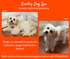 Cavachon Puppy Weight Chart Pin On Dogs Before And After