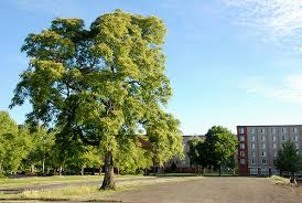 Image result for Ailanthus altissima