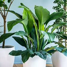The easiest indoor house plants that won't die on you   TODAY additionally How to grow your favourite flowering houseplants   The Telegraph as well Best 25  Indoor flowers ideas on Pinterest   Apartment plants together with  likewise 18 Best Large Indoor Plants   Tall Houseplants for Home and moreover Concrete tall planters   Home Decorating Trends   Homedit   Laguna furthermore The easiest indoor house plants that won't die on you   TODAY as well Best 25  Tall indoor plants ideas on Pinterest   Plants indoor additionally 25 Easy Houseplants   Easy To Care For Indoor Plants also Best 25  Tall indoor plants ideas on Pinterest   Plants indoor furthermore indoor Houseplants   Artificial House Plants 7 foot Tall Giant. on tall flowering houseplants