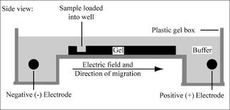 Gel Migration Chart Module 1 2 Agarose Gel Electrophoresis Labs Laboratory