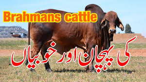 Some infusion of local british breed (bos taurus) cattle also occurred during its development. Brahman Cattle Physical Characteristics Brahma Cow Ki Pehchan Aur Khobian Brahman Breed Bull Youtube