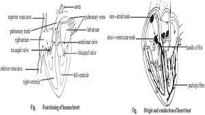 circulatory system essay the cardiovascular system the circulatory system