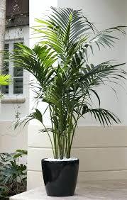 big indoor plants large indoor plant pots best indoor palms ideas on big plants big indoor big indoor plants