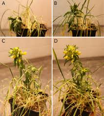 Water-stress physiology of Rhinanthus alectorolophus, a root ...