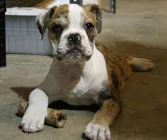english bulldog full grown. Unique Bulldog Couldnu0027t You Just Look At These Lovable Bulldogs All Day In English Bulldog Full Grown