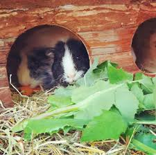 Guinea Pig Diet Guide With Photo Chart Feeding Your Guinea