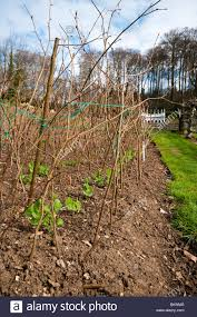Plants For Kitchen Garden Young Pea Feltham First Plants In The Kitchen Garden At Painswick