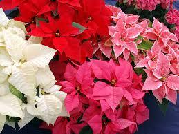 Kostenlose Foto Blume Blütenblatt Weihnachten Flora
