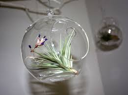 Air Plant The easiest of the three, air plants don& require soil at all. I  found these glass globes at some time ago, and was just waiting for the .
