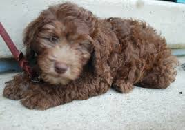 Labradoodle Color Chart Colors Of The Australian Labradoodle Ashford Manor