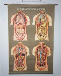 American Frohse Anatomical Charts Key Vintage 1950s Frohse Chest Abdomen Viscera Human Anatomy Wall Chart