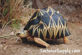 Leopard Tortoise Size Chart Choosing A Tortoise Species Which Tortoise Species Should