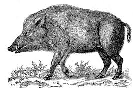 In Celtic Culture The Boar Is A Symbol Of Strength Endurance