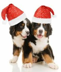 cute christmas puppies. Fine Cute Bernese Mountain Dogs Merry Happy Christmas Day Card Puppy Holiday  Santa Claus Dog Puppies Xmas To Cute