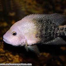 Texas Cichlid Seahorse Aquariums Ltd