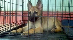 Rockey German Malinois Shepherd Puppy