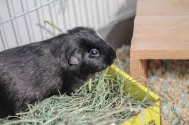it will cause harm to the guinea pigs feet litter bedding for guinea pigs must be soft to the touch