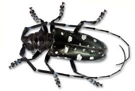 Asian Longhorned Beetle Natural Resources Canada