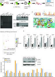 A Flow Chart Of Dna Pkcs Rip Seq B Rna Electrophoresis Of