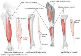Upper Leg Muscle Chart Quadriceps Femoris Muscle Anatomy Britannica