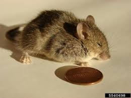 Rodents Lower Classifications Mice Voles And Moles
