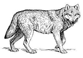 Kleurplaat Wolf Afb 22786 Images
