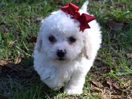 bichon poo puppies who found loving homes