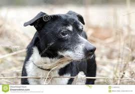 jack russell terrier mix black. Perfect Mix Senior Male Black Dog With Gray Muzzle And Docked Tail Short Legs  Lowrider A Jack Russell Terrier Mix Photographed For Walton County Animal Control  On Mix Black H