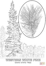 Small Picture Idaho State Tree coloring page Free Printable Coloring Pages