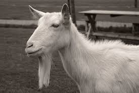 Image result for images of white goat with beard