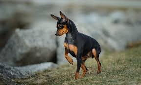 Miniature Pinscher Min Pin Full Profile History And Care