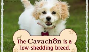 Cavachon Puppy Weight Chart Information About The Very Affectionate Cavachon Dog Breed