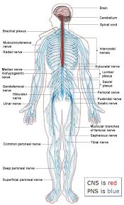 Back Nerve Chart Diagram Of Body Nerves Wiring Diagrams